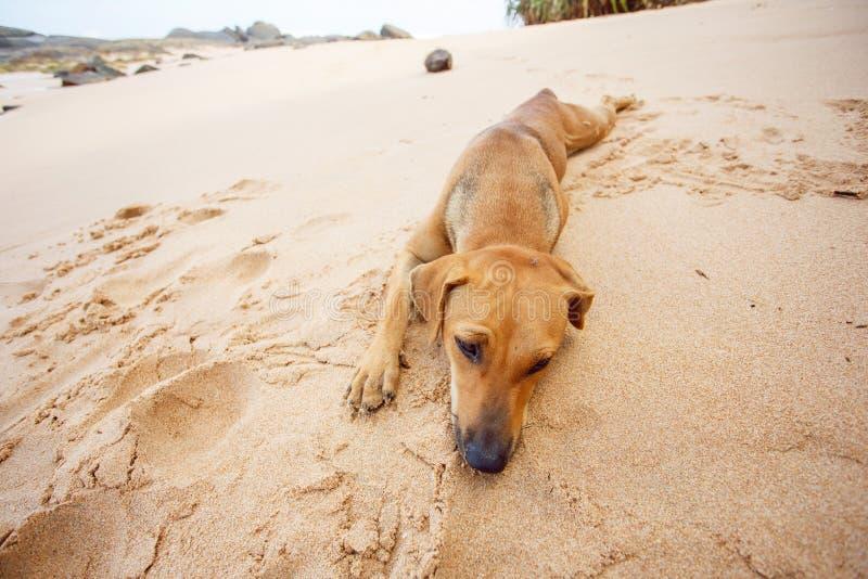 说谎在热带海滩的狗 库存照片
