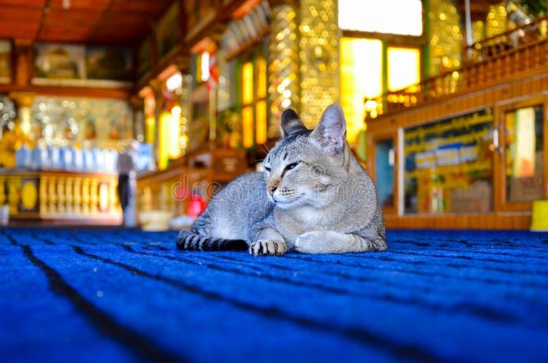 说谎在电蓝色地毯的困猫 库存照片