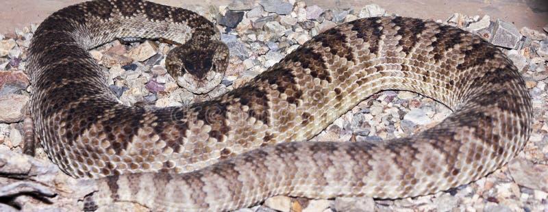 在石渣的西部菱纹背响尾蛇响尾蛇 库存图片