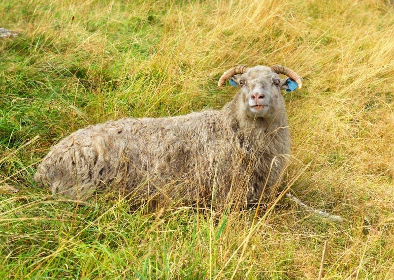 人和绵羊交配_说谎在秋天领域的绵羊