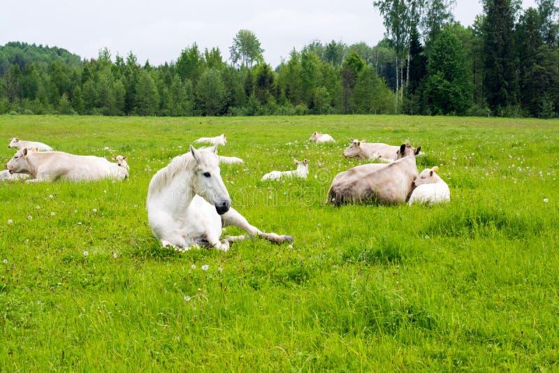 说谎在草甸的马和母牛 图库摄影