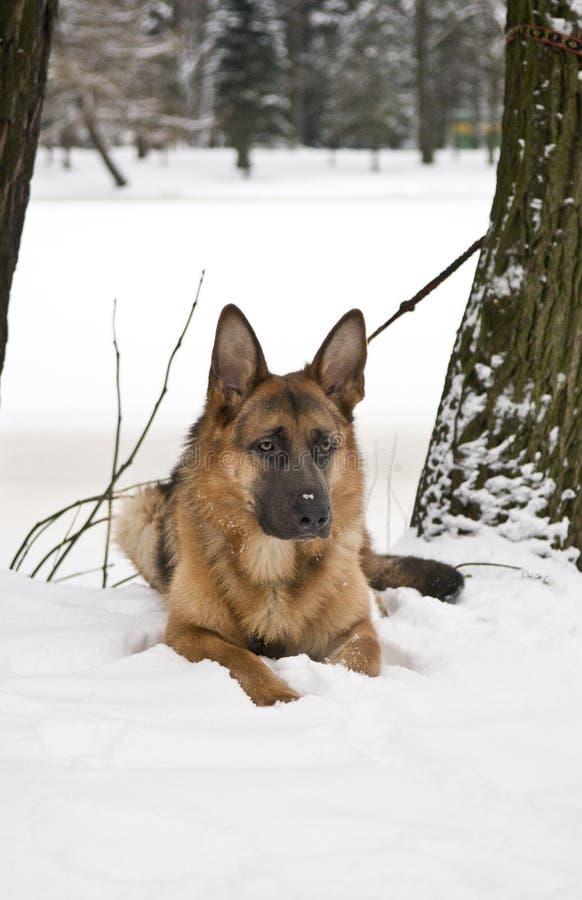 说谎在雪的德国牧羊犬狗 库存照片