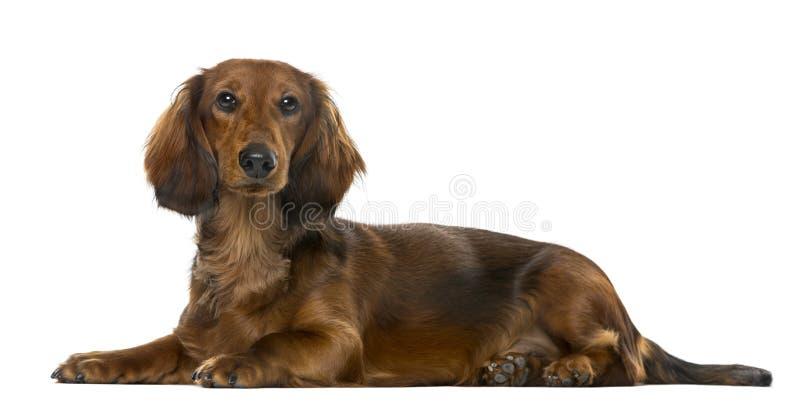 说谎小狗的达克斯猎犬, 6个月, 免版税库存图片