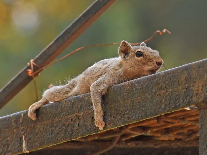 说谎横跨金属杆的印地安灰鼠 免版税库存照片
