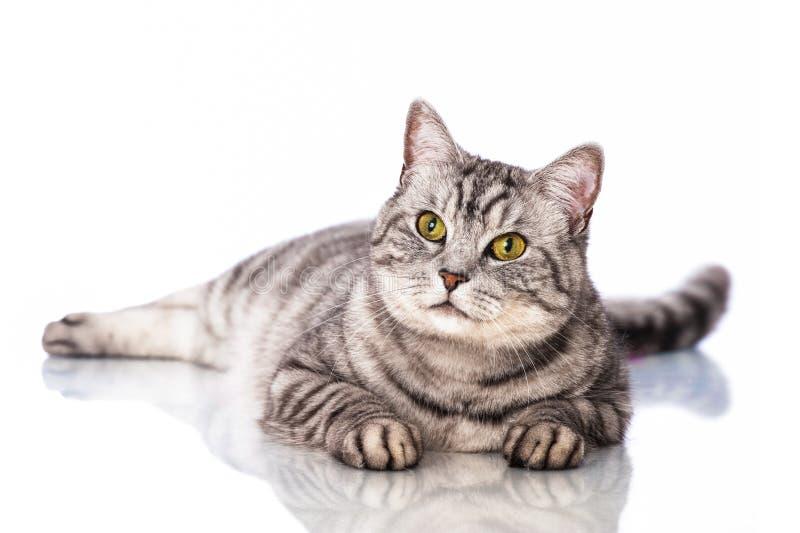 Download 说谎的猫 库存照片. 图片 包括有 位于, 灰色, 爪子, 哺乳动物, 图象, 乐趣, 眼睛, 休息, 国内 - 30325058