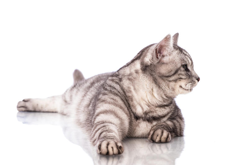 Download 说谎的猫 库存图片. 图片 包括有 哺乳动物, 眼睛, 相当, 颜色, 背包, 敌意, 没人, 前面, 水平 - 30325075
