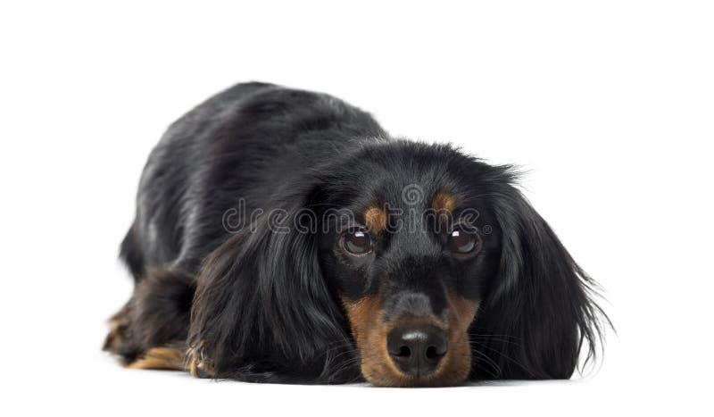 说谎的达克斯猎犬的正面图, 1岁,被隔绝 图库摄影