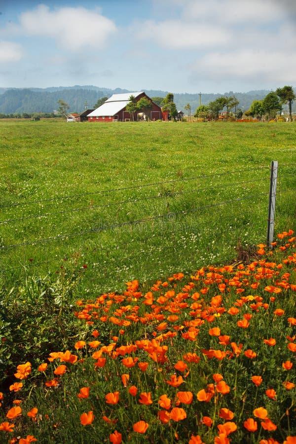 谷仓加利福尼亚红色域的鸦片 免版税库存图片