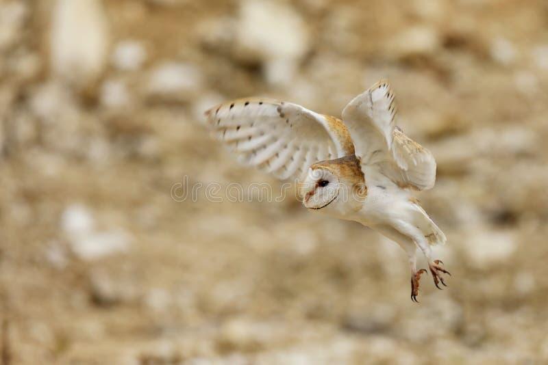 谷仓猫头鹰,晨曲的Tyto,在石头上的飞行 免版税图库摄影