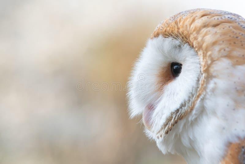谷仓猫头鹰,晨曲的Tyto,特写镜头画象 免版税图库摄影