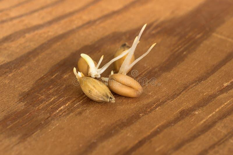 谷物发芽的麦子 免版税库存图片