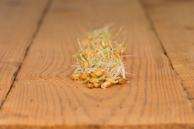 谷物发芽的麦子 库存图片