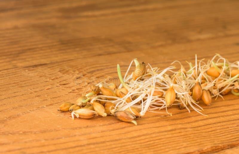 谷物发芽的麦子 免版税库存照片