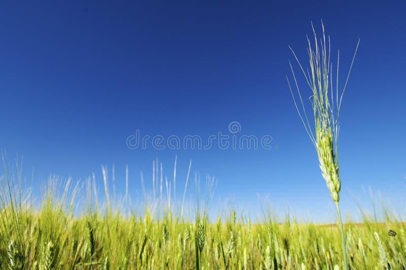谷物峰值 库存照片