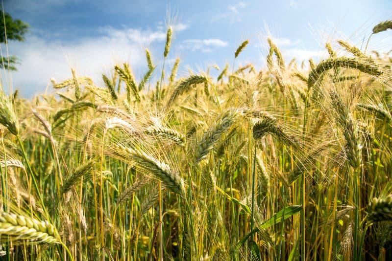 谷物庄稼在威尔士英国 库存图片