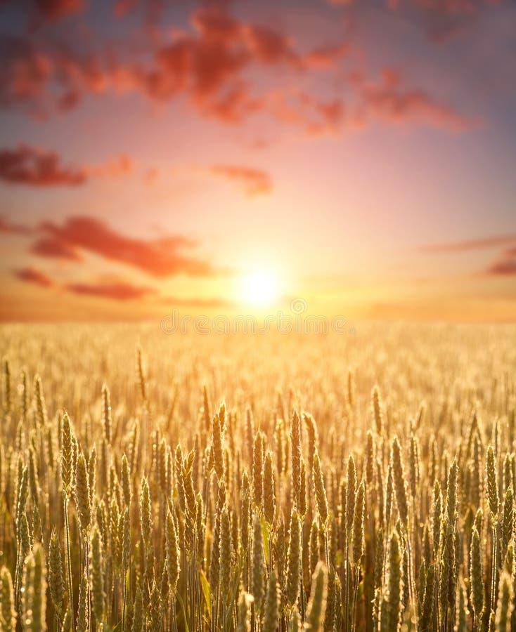 谷物的麦子五谷黄色领域在黎明天窗和五颜六色的云彩背景的  免版税库存图片