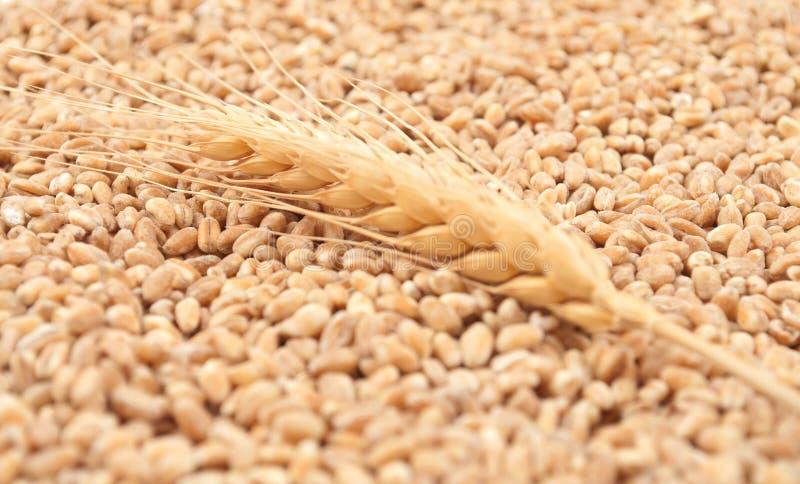 谷物麦子 图库摄影