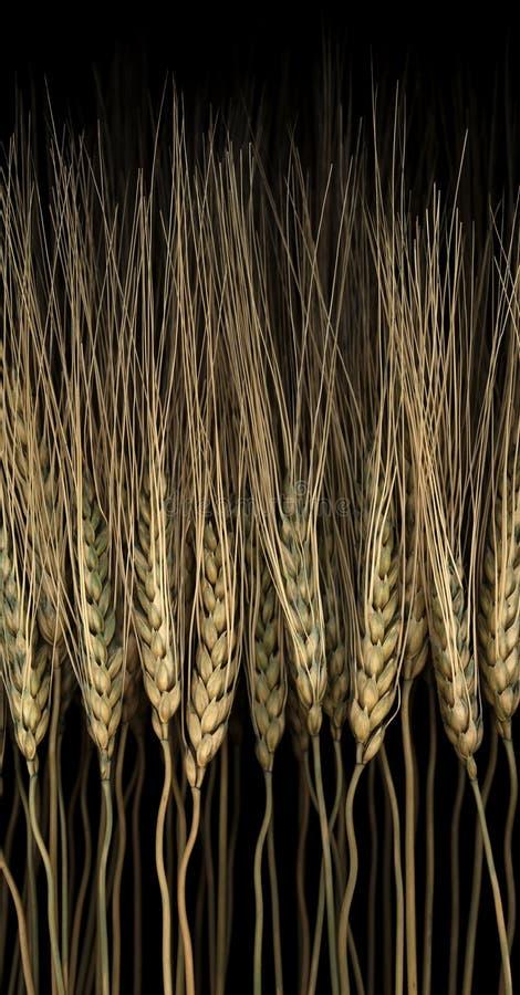 谷物 免版税图库摄影
