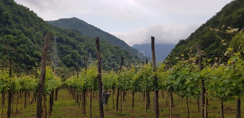 谷的一个美丽的葡萄园 库存图片