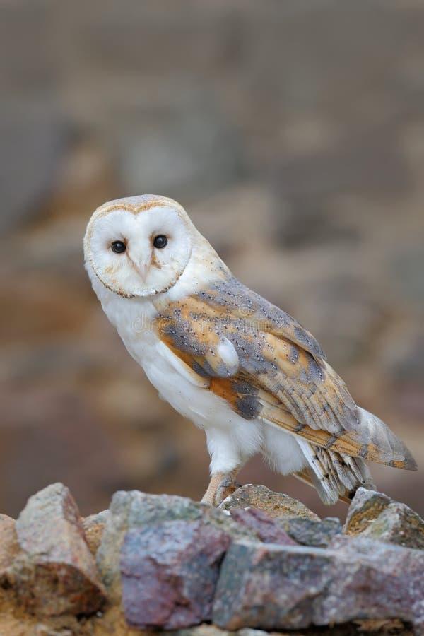 谷仓猫头鹰,晨曲的Tyto,坐石墙,在老城堡的轻的鸟,动物在城市生活环境 免版税库存照片