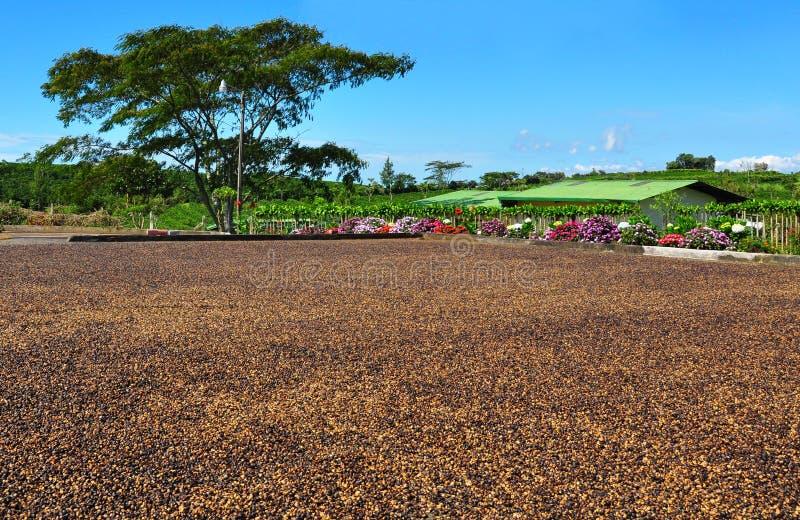 豆咖啡肋前缘干燥rica 免版税库存图片