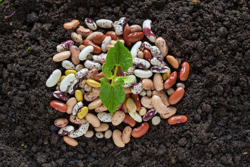 豆在土壤的种子萌芽顶视图与有些种子 库存图片