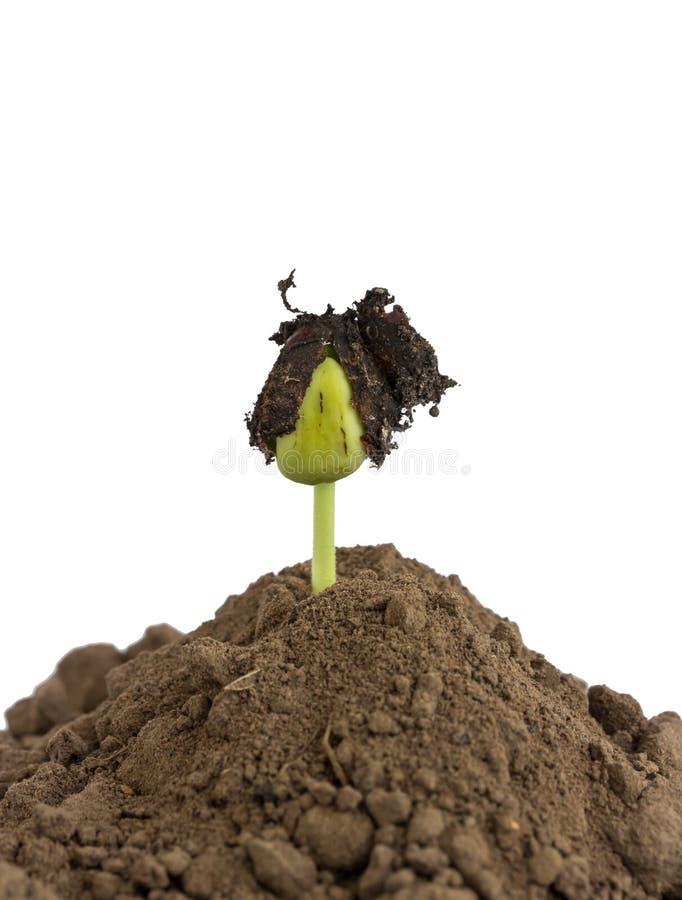 豆在地面的种子萌芽 图库摄影