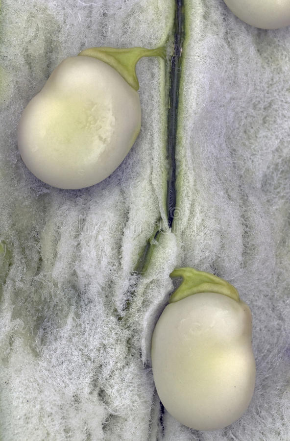 豆清楚的氟乙酰溴苯胺vicia 免版税图库摄影