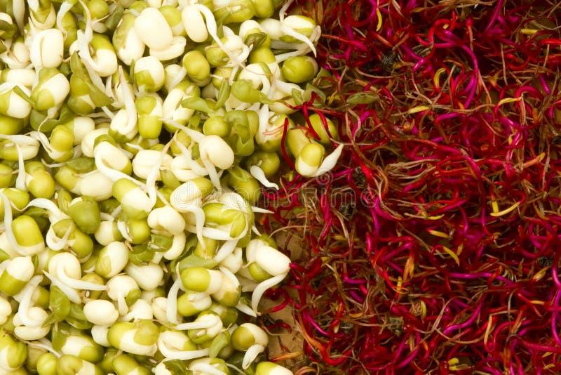 豆甜菜根发芽的mung新芽 库存照片