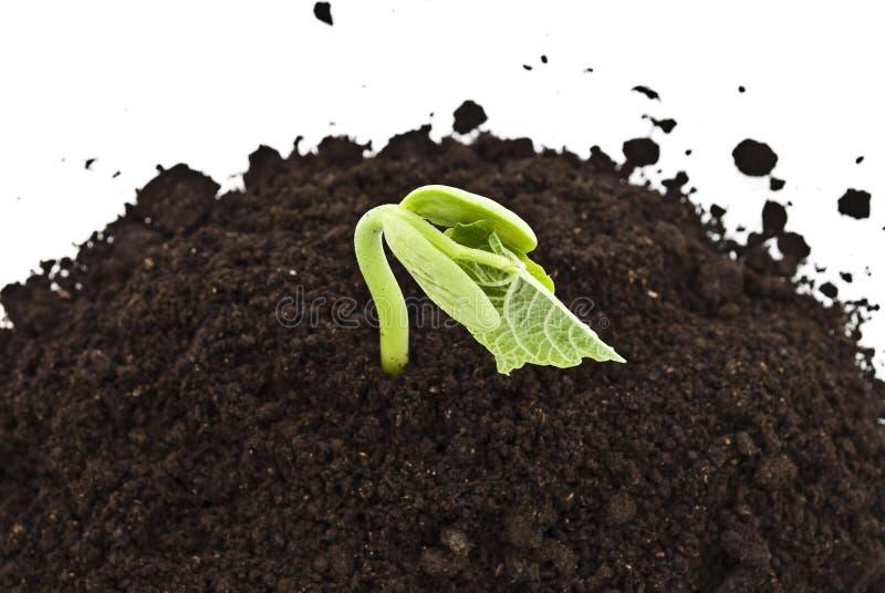 豆生长土壤新芽年轻人 库存照片