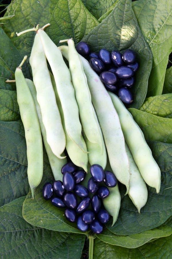 豆用绿色荚和蓝色种子 免版税库存照片