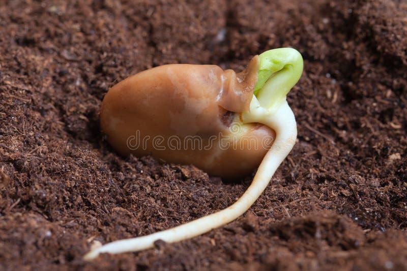 豆的萌芽。 免版税图库摄影