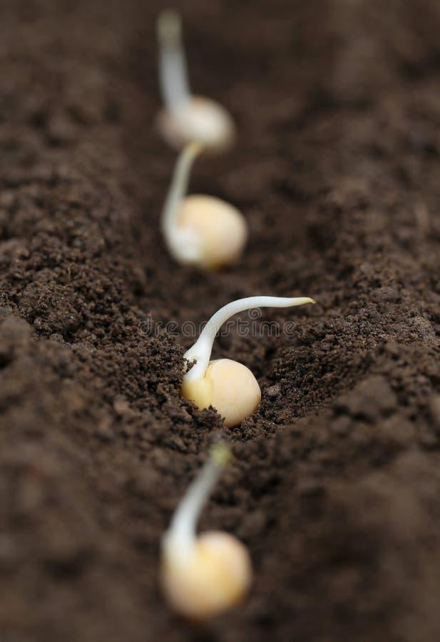 绿豆种植 库存照片