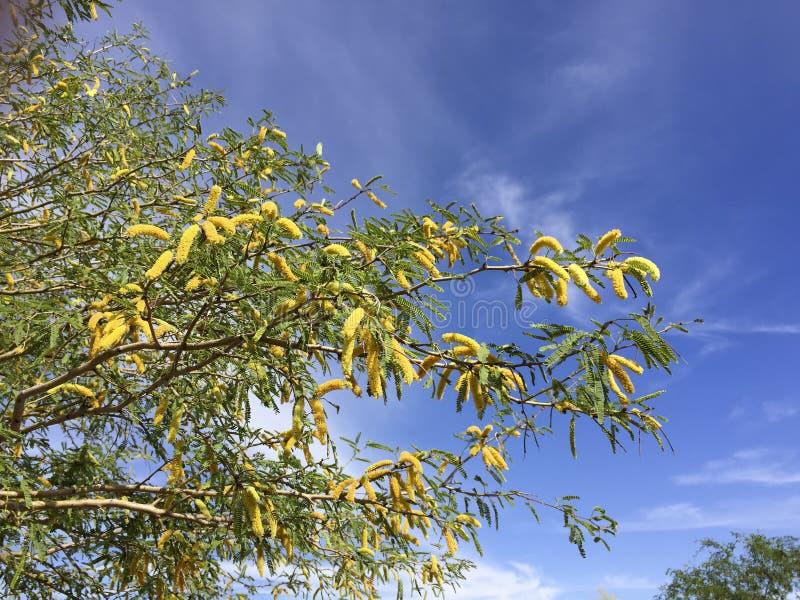 豆科灌木树在亚利桑那沙漠 图库摄影