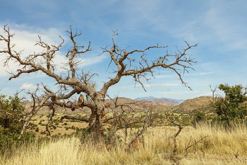 豆科灌木树死的断枝蓝天 库存图片