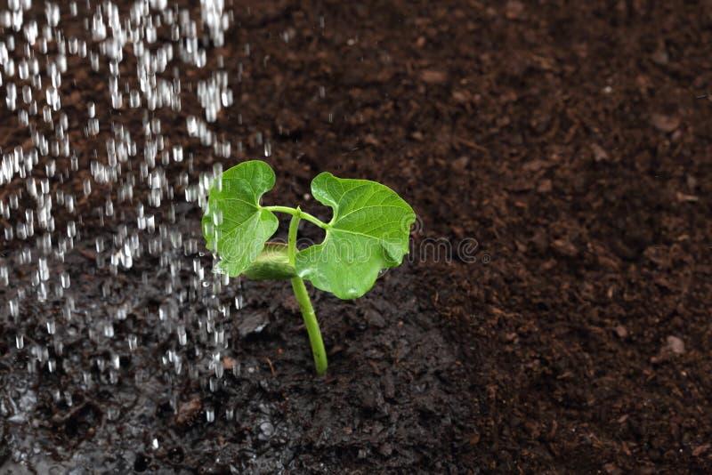 豆芽的灌溉 免版税图库摄影