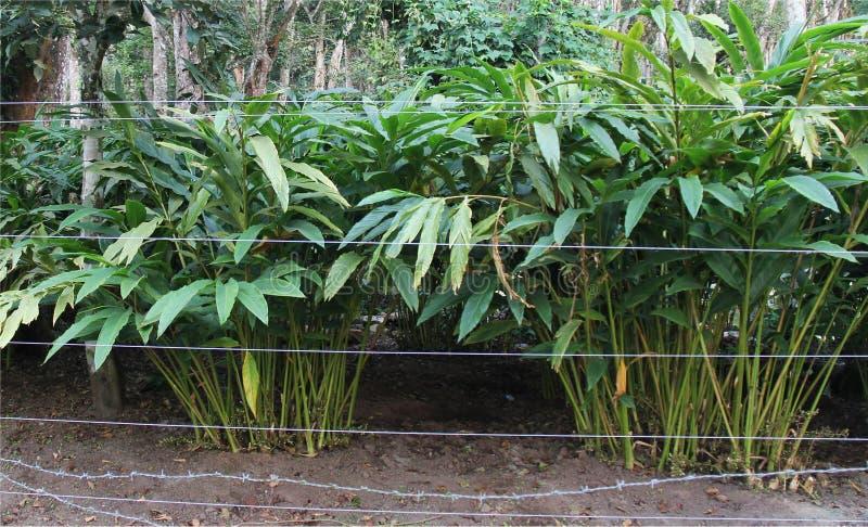 豆蔻果实种植园 库存照片