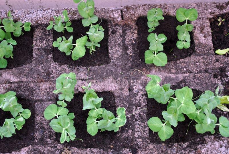 豌豆幼木 免版税图库摄影