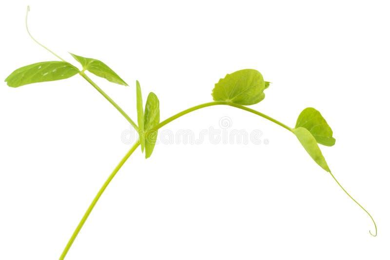 年轻豌豆植物 库存照片