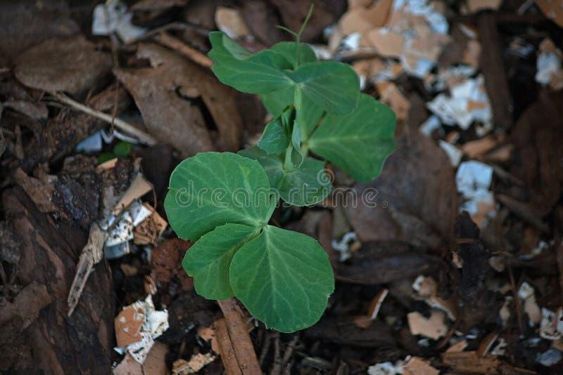 年轻豌豆植物 免版税库存图片