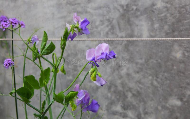 紫豌豆花 免版税库存照片