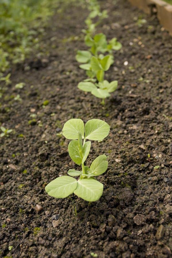 豌豆被种植的行幼木 免版税库存照片