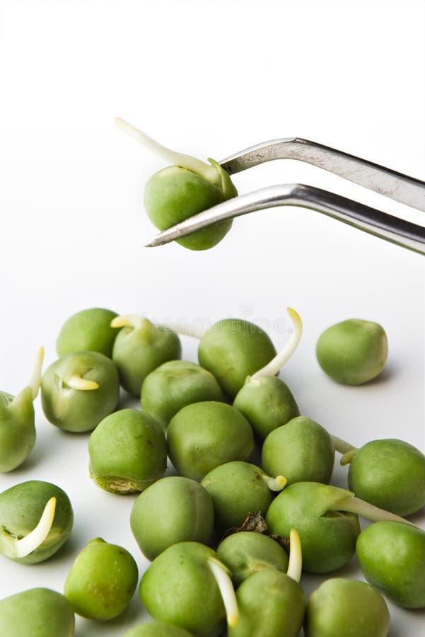 豌豆镊子 免版税图库摄影