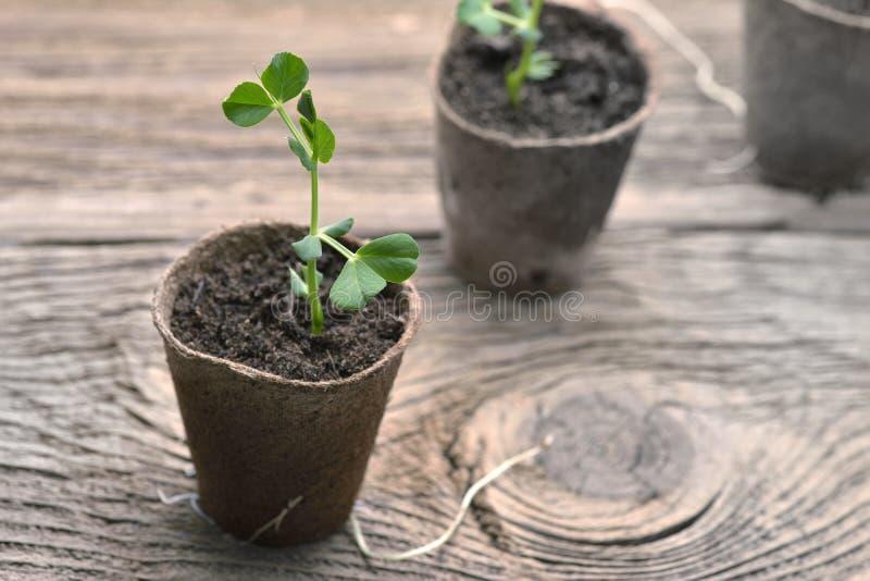 豌豆,在小罐的幼木年幼植物在木背景 图库摄影