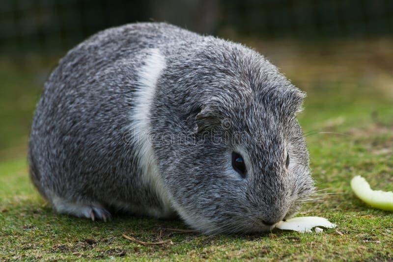 豚鼠灰色试验品白色 库存图片