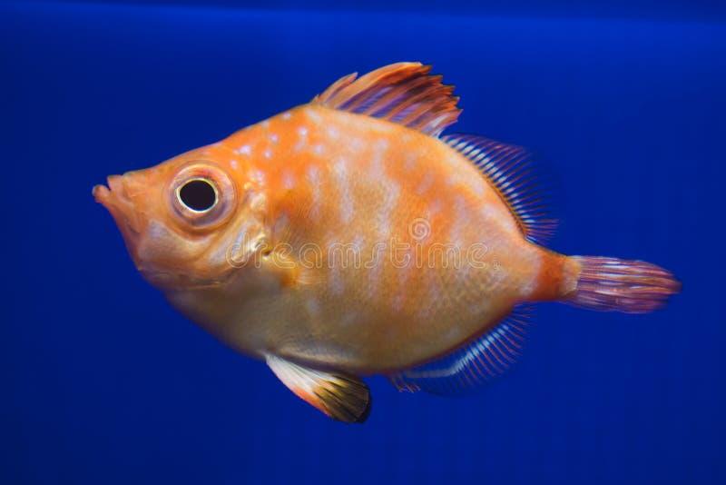豚鼻鱼Capros aper 库存图片