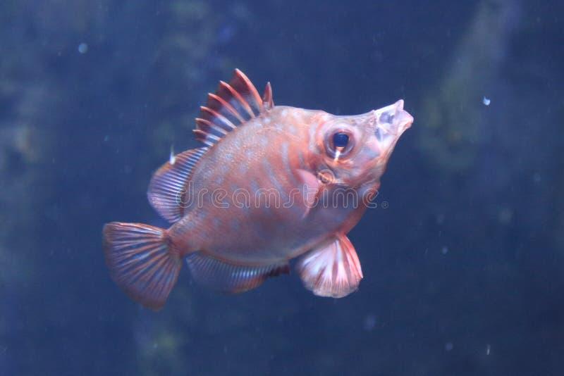 豚鼻鱼Capros aper 图库摄影