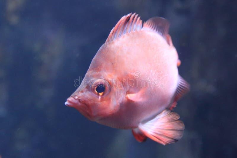 豚鼻鱼Capros aper 免版税库存图片