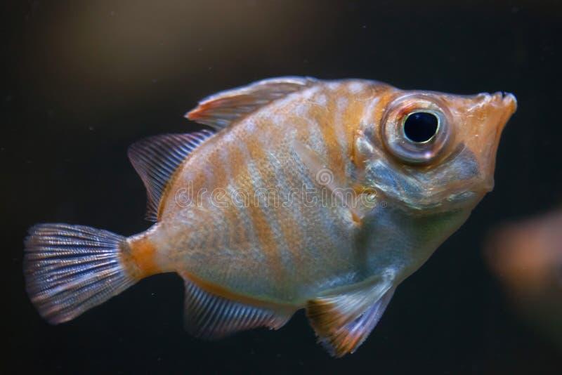 豚鼻鱼& x28; Capros aper& x29; 库存图片