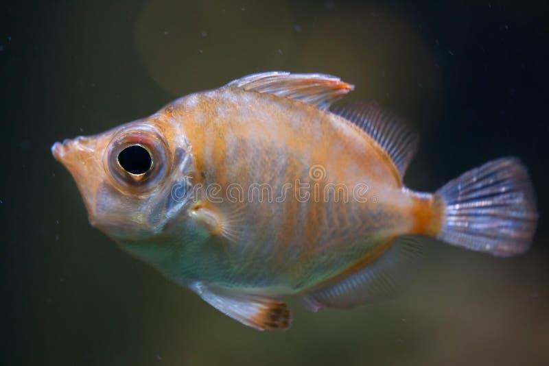 豚鼻鱼& x28; Capros aper& x29; 免版税库存图片